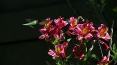 Most unusual: two hummingbirds feed at same flowers without fighting Stock Footage