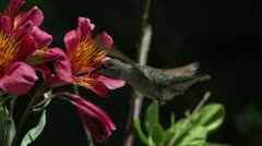 Anna's Hummingbird CU slomo in profile shows how it hovers when feeding Stock Footage