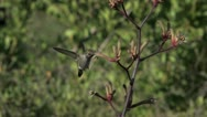 "Stock Video Footage of ""Pregnant"" Anna's Hummingbird feeds on Kangaroo Paws MLS"