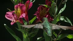 Anna's Hummingbird hi-speed CU shot over-her-shoulder as she feeds on flower Stock Footage