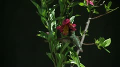 Anna's Hummingbird high-speed MLS warily feeding on Peruvian Lily Stock Footage