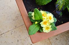 Primrose (Primula Vulgaris) in gardening pot Stock Photos