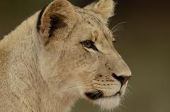 Photos of Africa, Lion (9) - stock photo