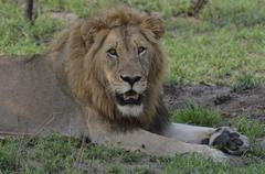 Photos of Africa, Lion (23) - stock photo