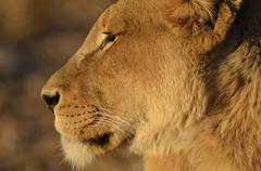 Photos of Africa, Lion (1) - stock photo