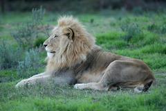 Photos of Africa, Lion (35) - stock photo