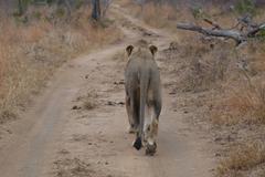 Photos of Africa, Lion (34) - stock photo