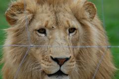Photos of Africa, Lion (46) - stock photo