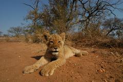Photos of Africa, Lion (27) - stock photo