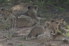 Photos of Africa, Lion (59) - stock photo
