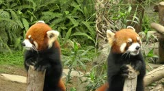 Red pandas in Hong Kong Ocean Park. Stock Footage