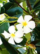 plumeria flowers closeup on nature - stock photo