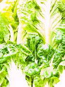 closeup of fresh  baby bok choy ans  cos salad leaves as  background - stock photo