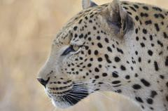 Photos of Africa, Leopard (7) - stock photo