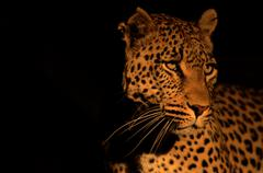 Photos of Africa, Leopard (13) - stock photo