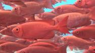 School of red fish sequence Stock Footage