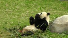 Giant panda is having lunch in Hong Kong Ocean Park Zoo. Stock Footage