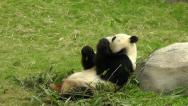 Stock Video Footage of Panda lunch in Hong Kong Ocean Park Zoo.