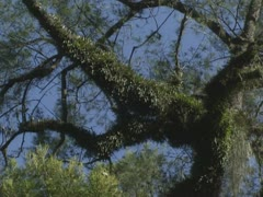 Epiphytes on tree branch in Barrington Tops National Park, Australia Stock Footage