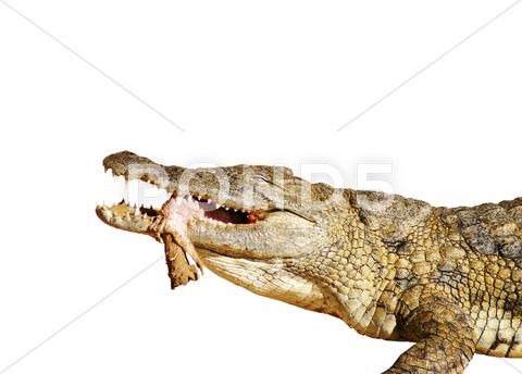 Stock photo of crocodile eating