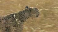 Cheetah walking through the grass Stock Footage