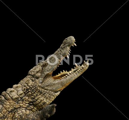 Stock photo of crocodile on black background