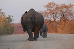 Photos of Africa, Rhino...Save the Rhino.. (39) - stock photo