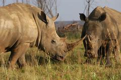 Photos of Africa, Rhino...Save the Rhino.. (33) Stock Photos