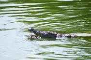 Alligator in the river Stock Photos