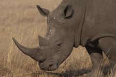 Photos of Africa, Rhino...Save the Rhino.. (66) - stock photo