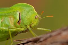 Bladder grasshopper - stock photo