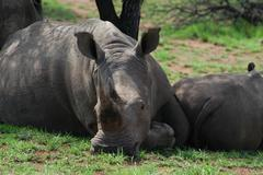 Photos of Africa, Rhino...Save the Rhino.. (49) - stock photo