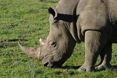 Photos of Africa, Rhino...Save the Rhino.. (54) - stock photo