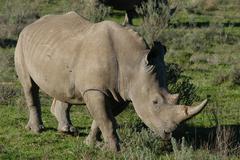 Photos of Africa, Rhino...Save the Rhino.. (53) - stock photo