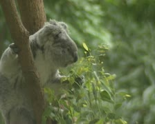 Koala (Phascolarctos cinereus) in tree eats eucalyptus leaves Stock Footage