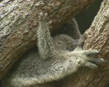 Koala baby joey (Phascolarctos cinereus) in mother's arms 03 Stock Footage