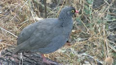 Redbilled Francolin Stock Footage