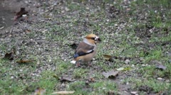 Hawfinch on ground eating seed, Coccothraustes coccothraustes Stock Footage