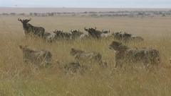 Cheetah family walking past Wildebeest Stock Footage
