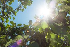 Sun rays go through apple tree leafs background Stock Photos