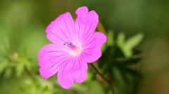 Purple flower Geranium Stock Footage