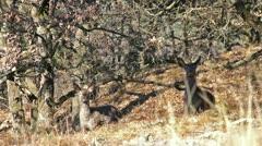 Red deers Stock Footage