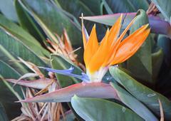 Exotic flower, estrelizia, island of Madeira - stock photo