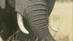 Elephant close up feeding Stock Footage
