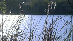 cattail weeds blowing in the wind - stock footage