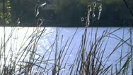 Cattail weeds blowing in the wind Stock Footage