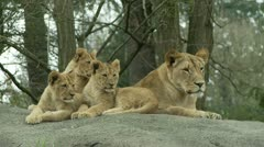 Stock Video Footage of Lion Cubs