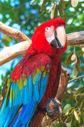 Red blue ara parrot portrait Stock Photos