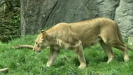 Stock Video Footage of Lioness and Cub
