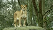 Stock Video Footage of Lioness